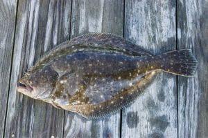 Jigging for Flounder