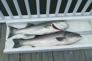 Striped Bass Freshwater Fishing