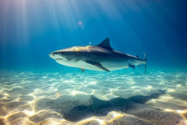 Can You Eat Shark