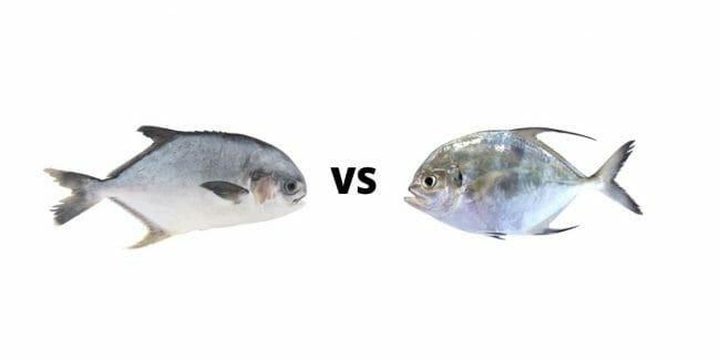 Permit vs Pompano