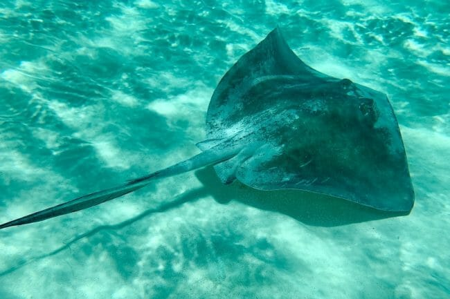 can you eat stingray